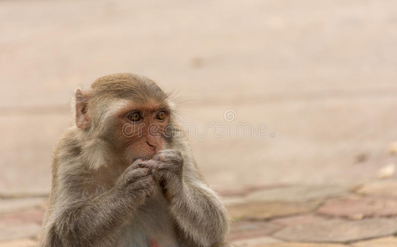 Monkey eating in the park.  stock image