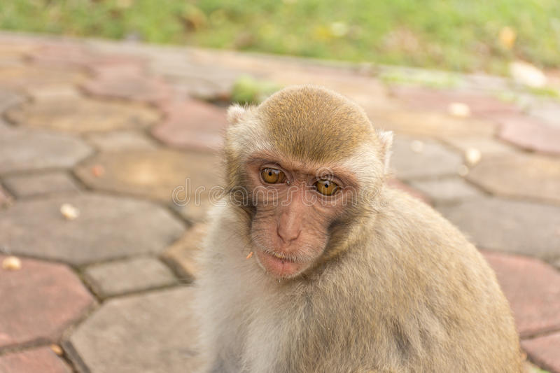 Monkey eating in the park.  stock photos