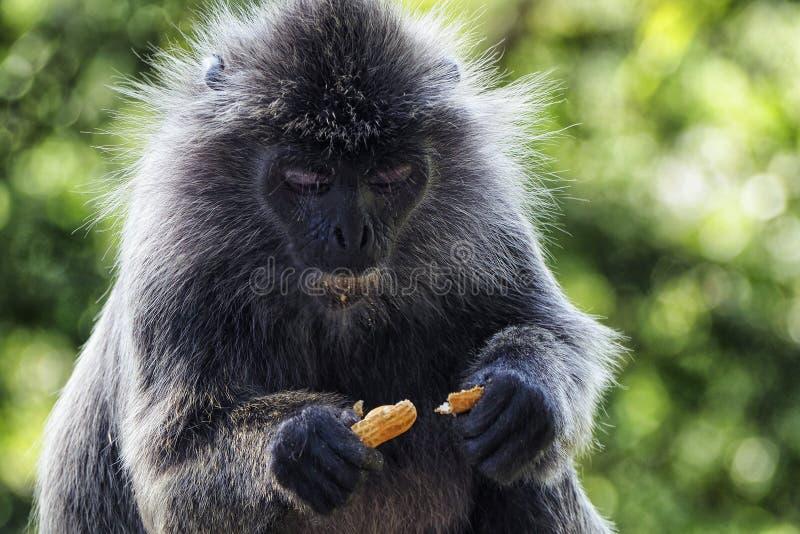Monkey eating a peanut stock photos