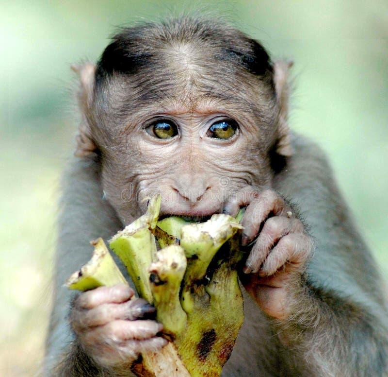 Monkey eating something royalty free stock photography