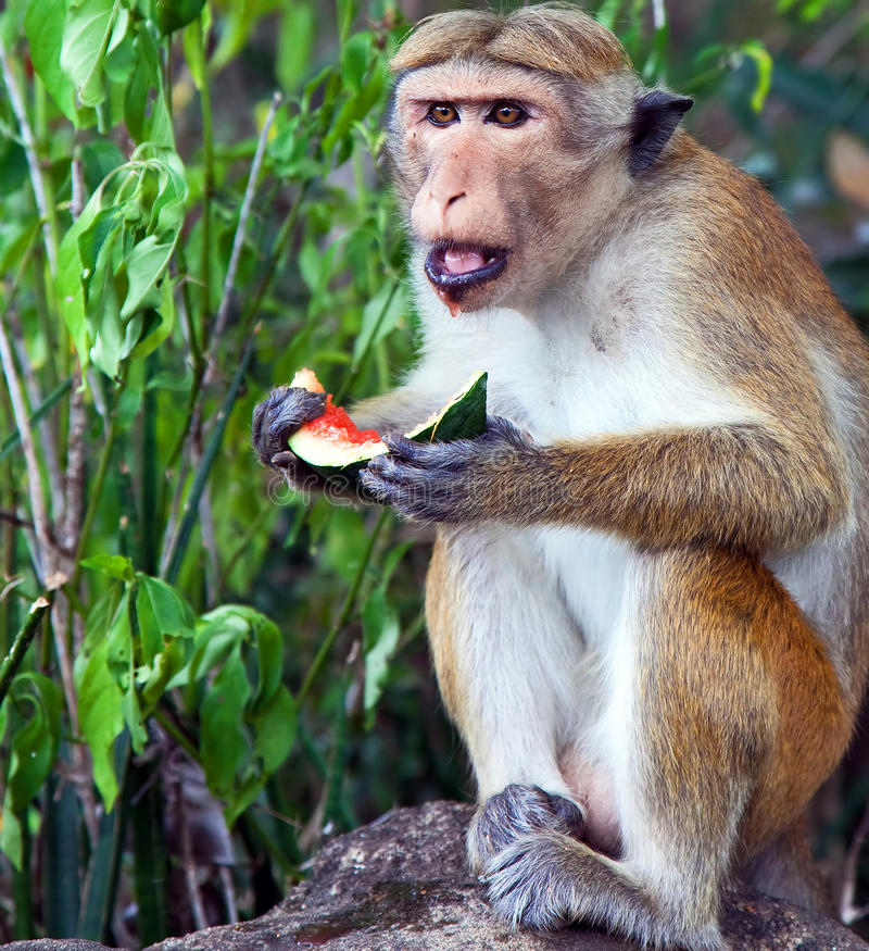 Download Monkey Eating A Water Melon Stock Photo - Image: 32905730