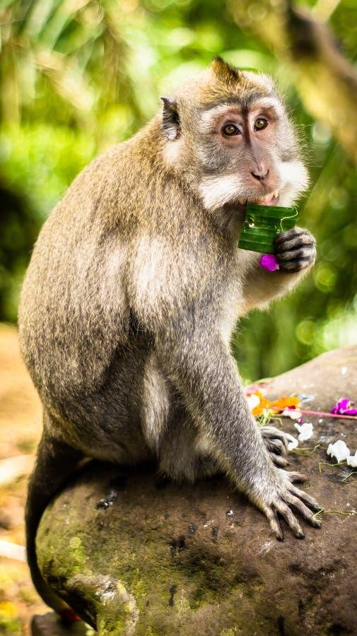 Monkey eats banana leaf royalty free stock images