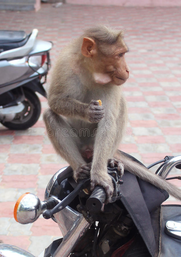 Monkey eats biscuite on a bike. A funny monkey eats biscuite on a bike close up shot royalty free stock photos