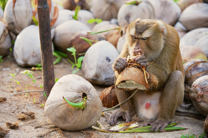 Monkey eats coconut at the coconut plantation at Koh Samui, Thailand. Farmers at Koh Samui train monkeys to collect coconuts from palm trees royalty free stock image