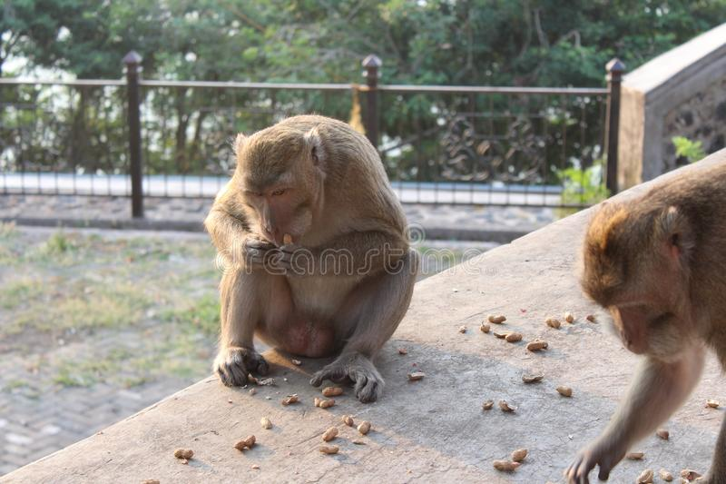 Monkey eats nuts royalty free stock photo