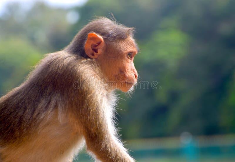 Monkey el animal está mirando alrededor de la fotografía fotos de archivo libres de regalías