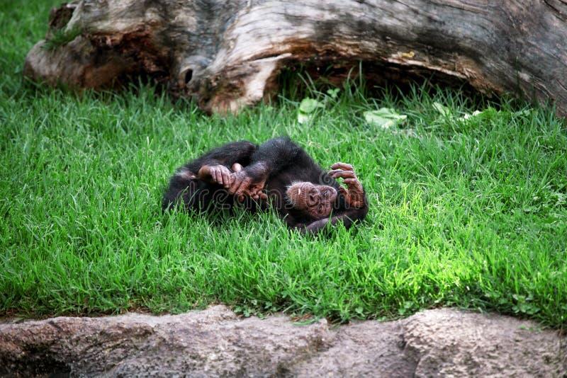 Monkey el chimpancé que se relaja y goza el mentir en la hierba fotografía de archivo libre de regalías