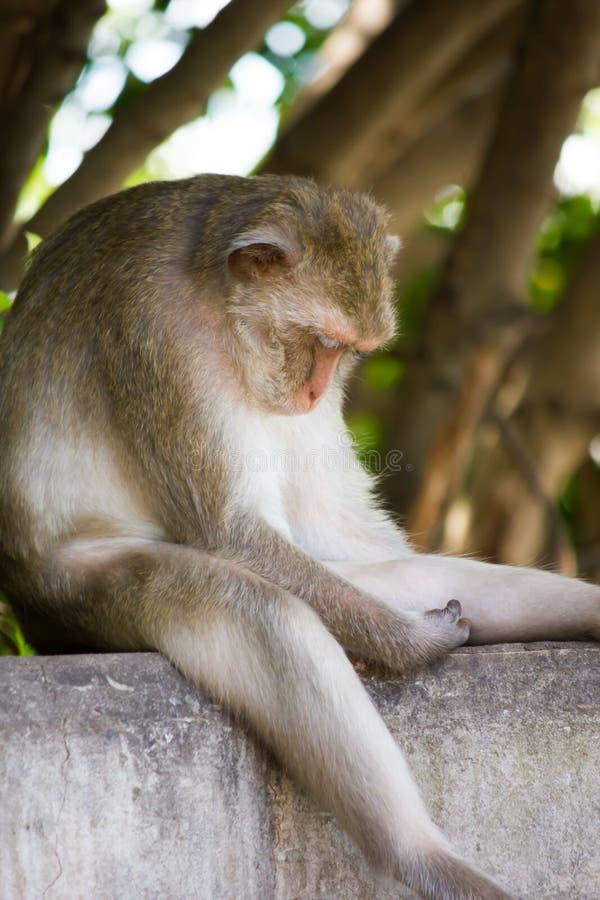 Monkey el sueño en Koh Sam Muk, Chon Buri, Tailandia fotos de archivo libres de regalías