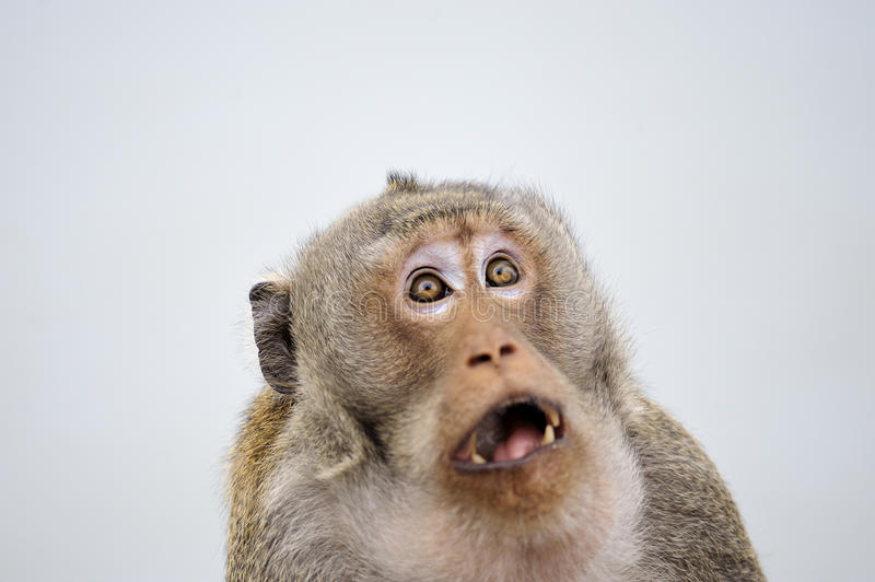 Monkey emotion surprise full face . royalty free stock images