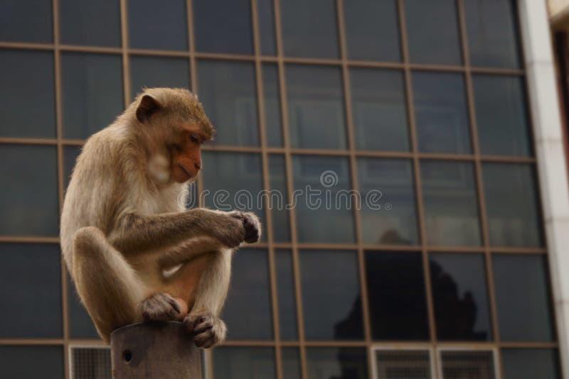 Monkey en ciudad en el lopburi Tailandia del yot de Sam del prang imagen de archivo