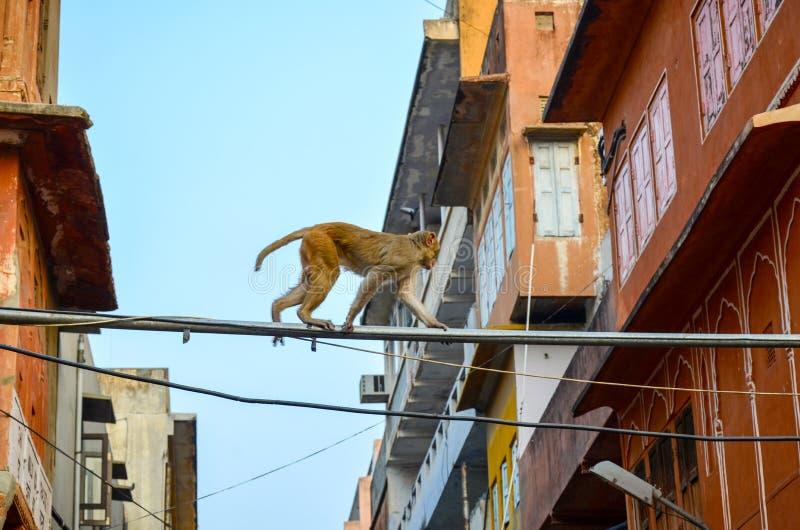 Monkey en la ciudad rosada estado de Jaipur, Rajasthán, la India fotografía de archivo libre de regalías