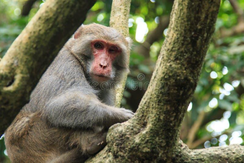 Monkey en Shoushan, montaña del mono en la ciudad de Gaoxiong, Taiwán imágenes de archivo libres de regalías