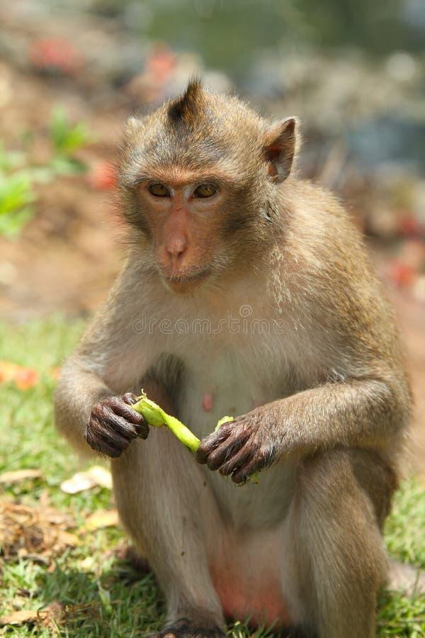 Monkey. The monkey enjoy eat food royalty free stock images
