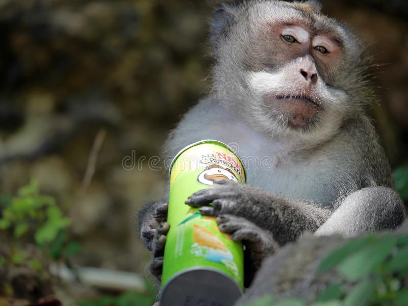 Monkey enjoying stolen potato chips. Bali Indonesia royalty free stock images