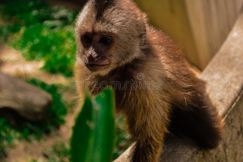 THE monkey royalty free stock photo