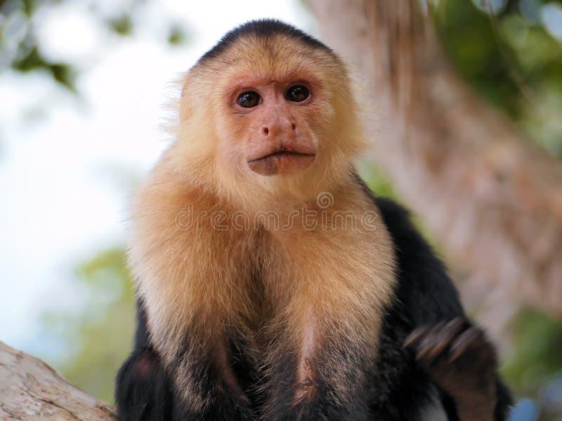 Monkey face. Head of White-faced capuchin monkey, national park of Cahuita, Caribbean, Costa Rica stock photography