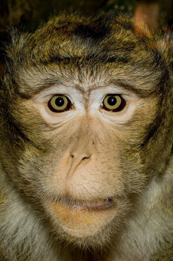 Monkey a face imagens de stock