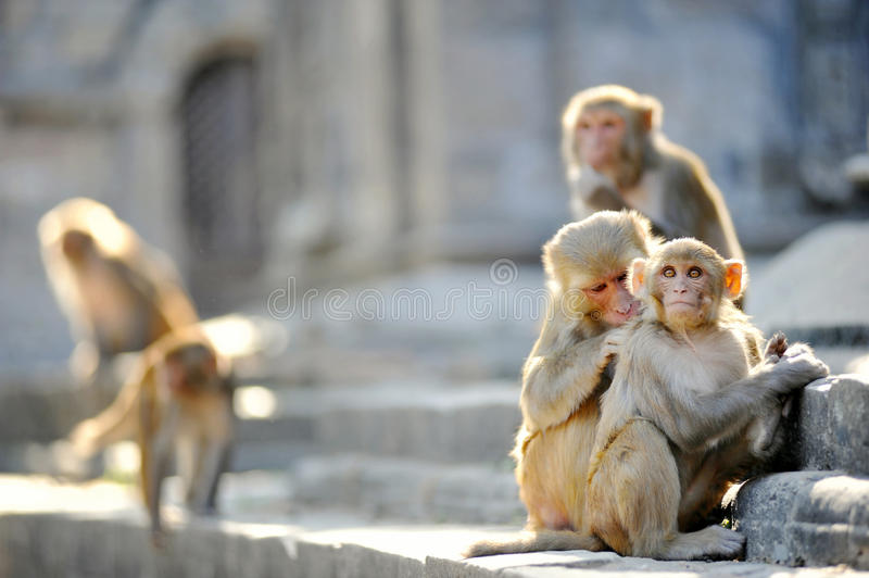 Download Monkey family stock photo. Image of clean, cleaning, baby - 28793436
