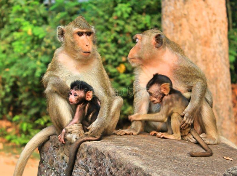 Monkey family in Cambodia stock photos