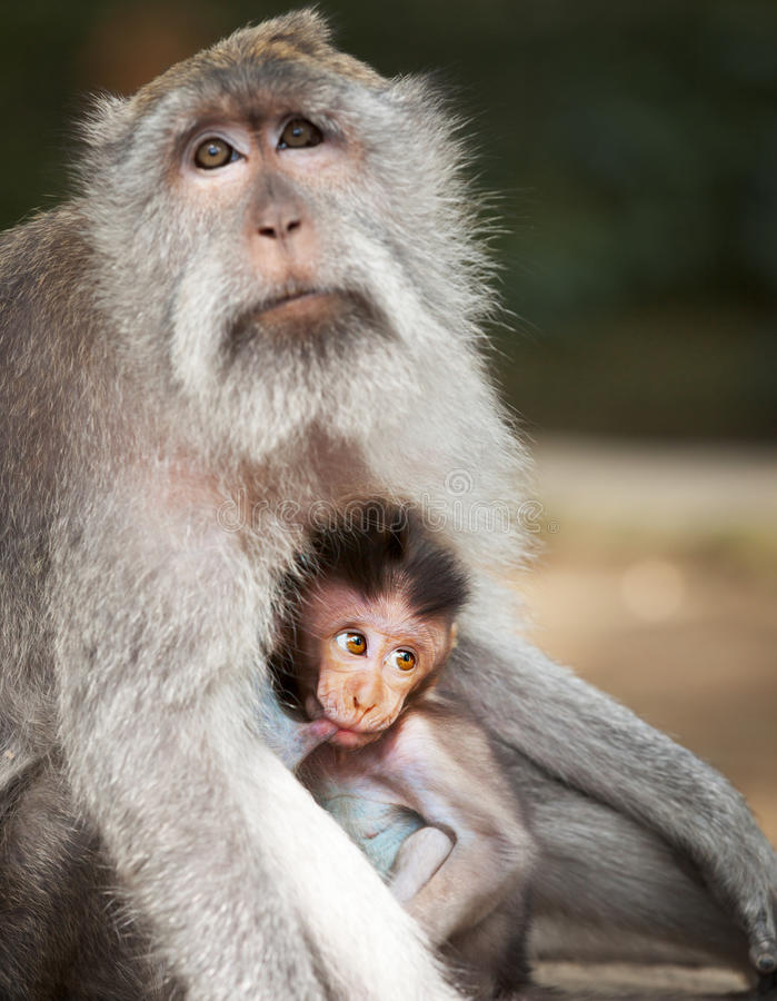 Monkey feeds her cub. Animals - mother and child. Indonesia stock photo