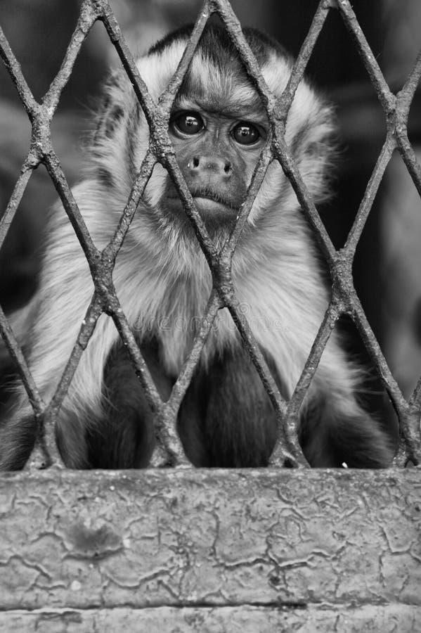Monkey. A monkey feeling loneliness and sadness under jail stock photos