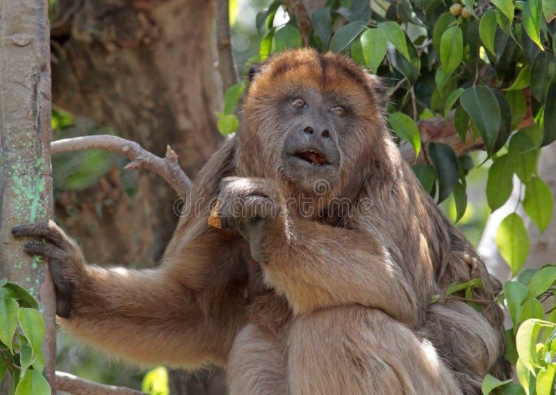 Monkey. Female Howler Monkey Sitting In Tree royalty free stock image