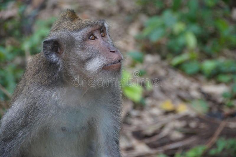 Monkey at florest royalty free stock photos