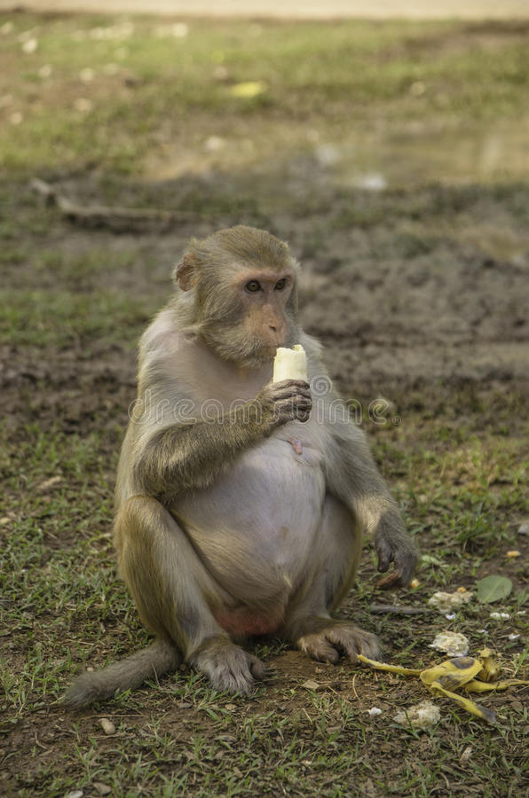 Monkey and food. On green grass stock photo