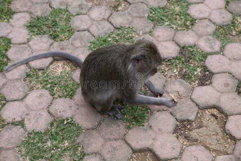 Monkey forest royalty free stock photos