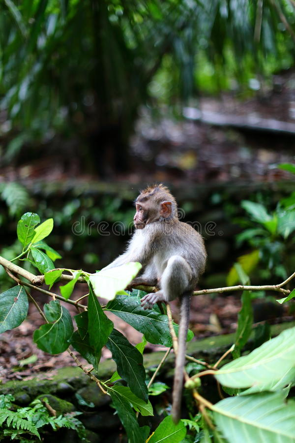 Monkey Forest, Ubud, Bali. Baby monkey at monkey forest, Bali, hanging from a branch royalty free stock image