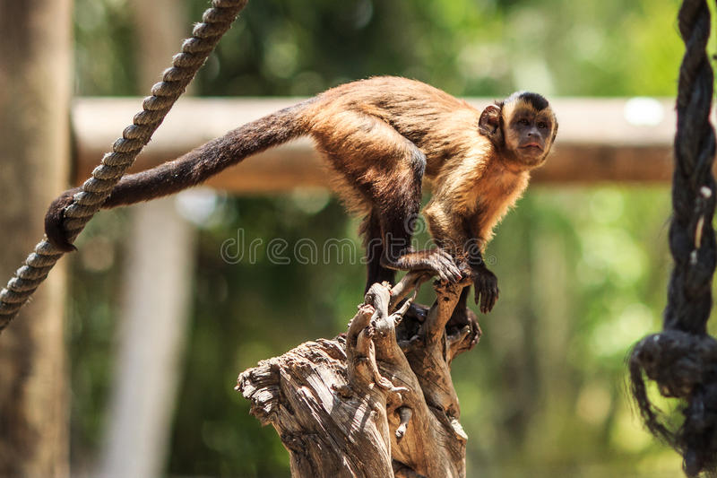 Funny and curious monkey royalty free stock photos