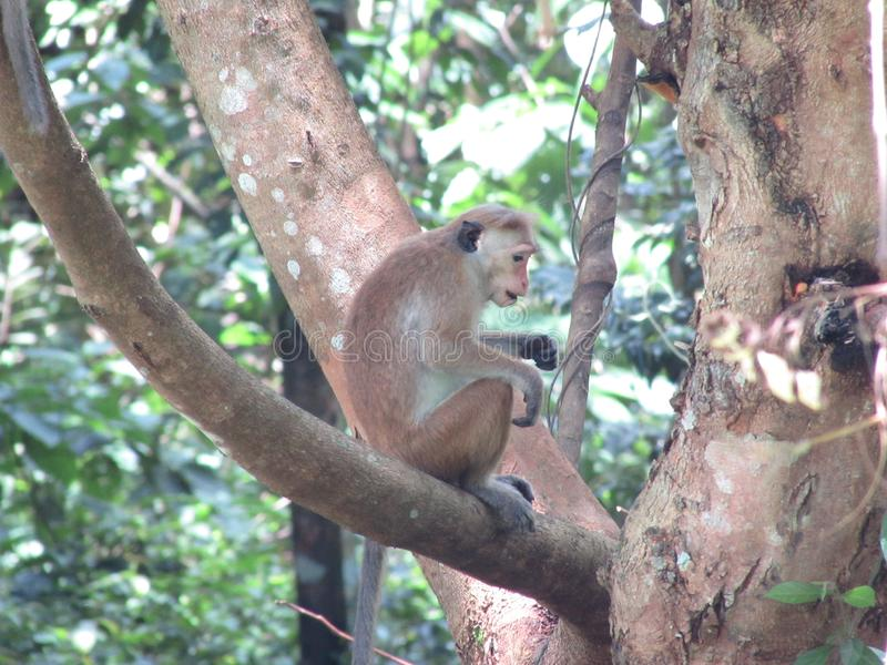 Monkey in Garden  beautiful gampha. Garden future beautiful please in gampha Sri Lankans natural forast royalty free stock image