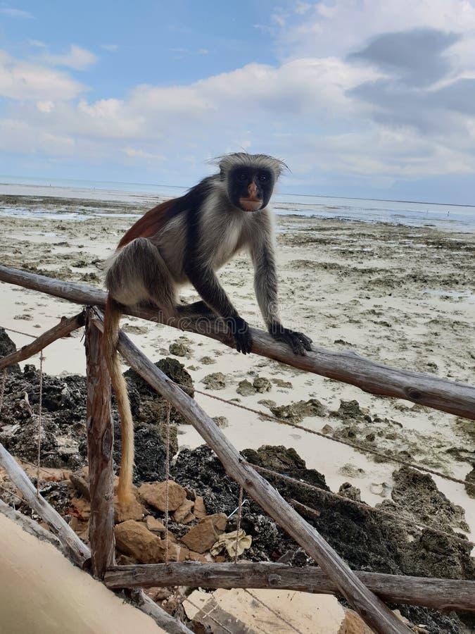 Monkey geniet van de oceaan in Zanzibar stock afbeelding