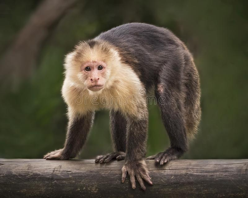 Monkey Glares Intensely at Palm Beach Zoo. A monkey fixes its gaze intensely while balancing on a log at the Palm Beach Zoo in West Palm Beach, Florida stock photos