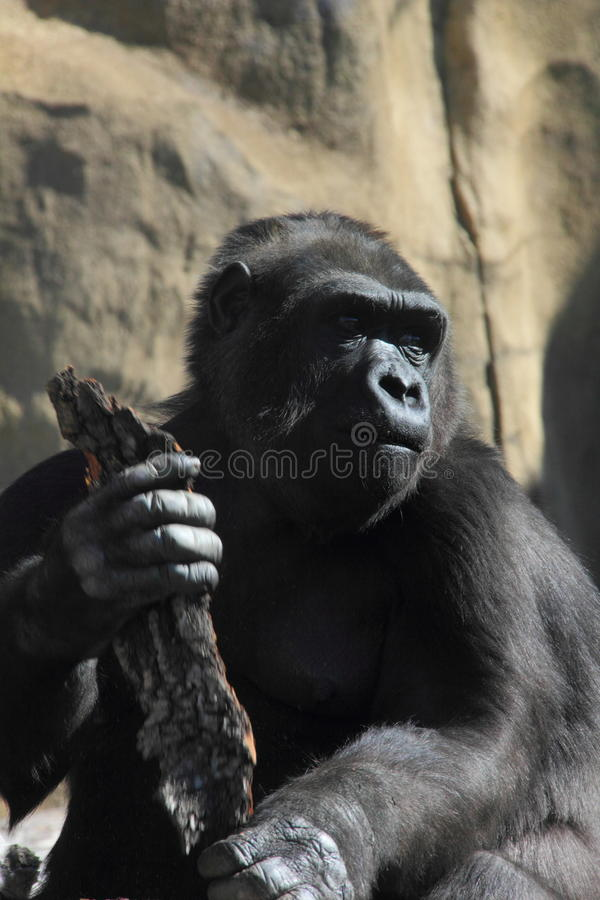 Monkey. Gorilla. A big gorilla sitting on the rock. Sunny day royalty free stock image