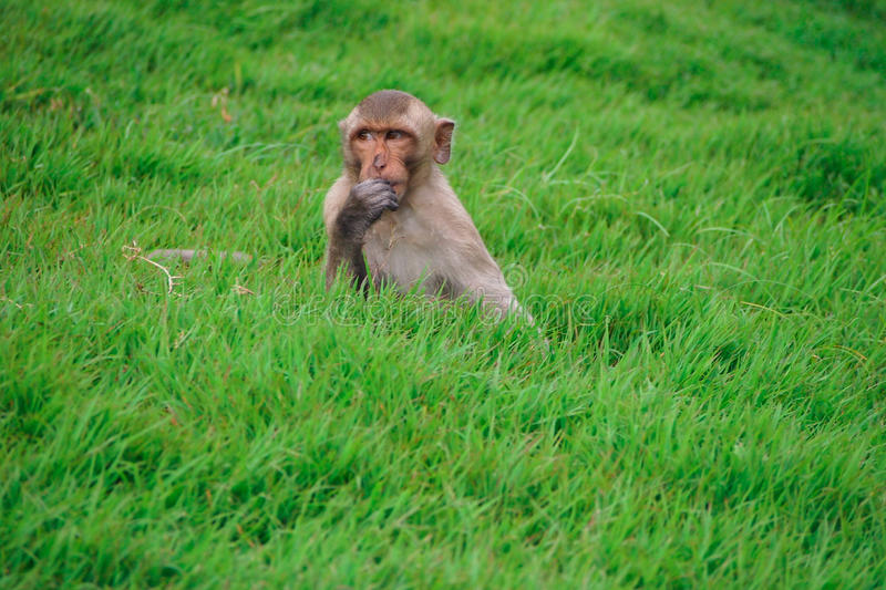 Monkey on the grass stock photography