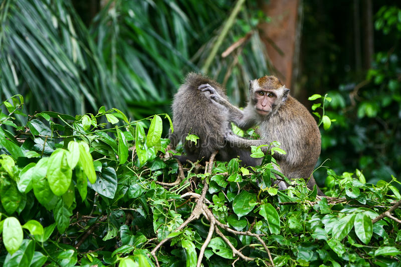 Monkey Grooming royalty free stock photo
