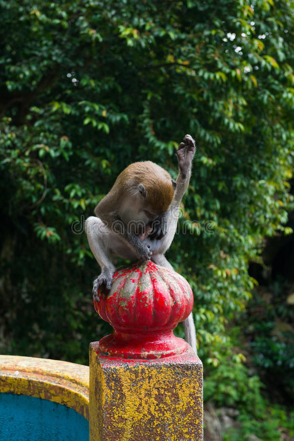 Monkey grooming cleaning genitals fur royalty free stock photography