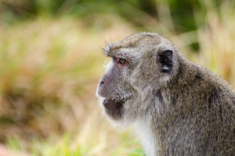 Monkey Gunung Kelimutu. Another portrait of a monkey in Gunung Kelimutu, Indonesia stock images
