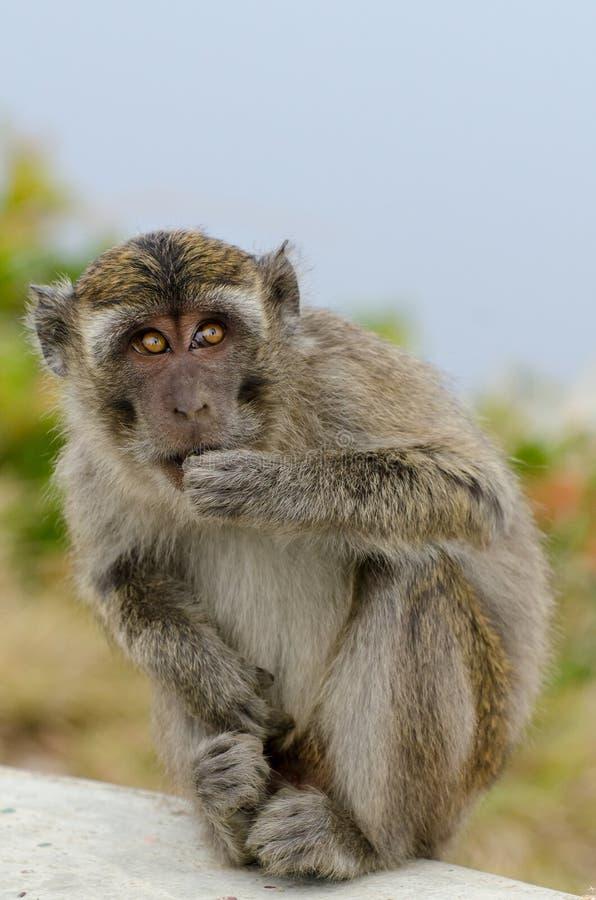Monkey Gunung Kelimutu. Monkey on top of Gunung Kelimutu, Nusa Tenggara, Indonesia, near the crater lakes stock photography