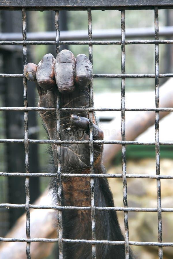 Monkey hand grabbing bars. Monkey hand grabbing metal bars stock image