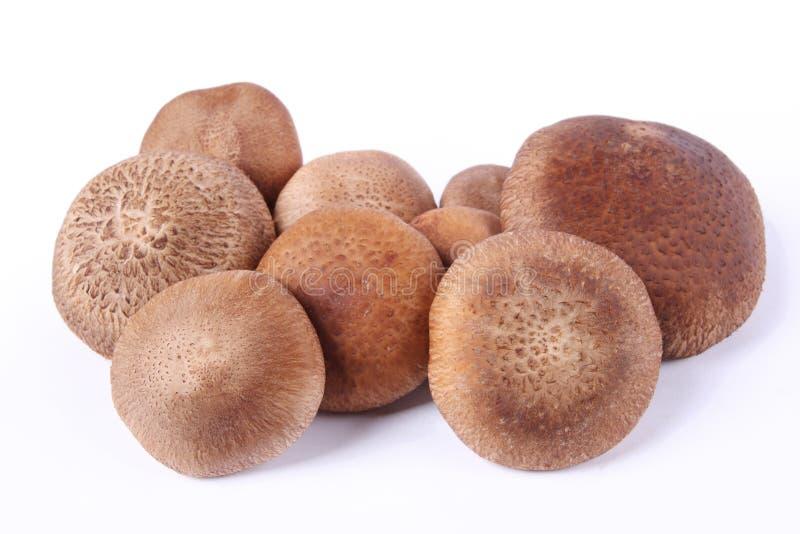 Monkey head mushroom. With white background stock photos