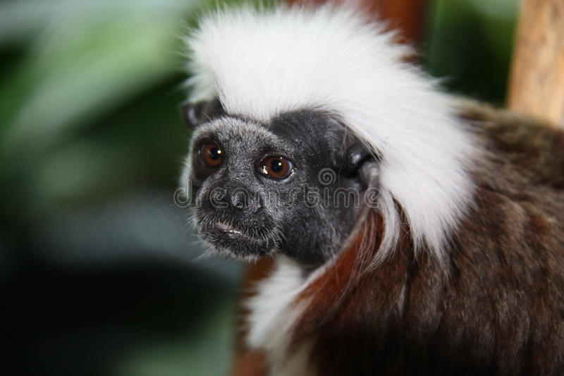 Monkey. The head of a monkey with white hair royalty free stock photos