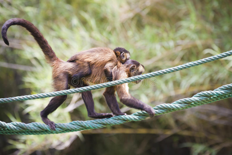 Monkey with her young hanging from a rope royalty free stock photos