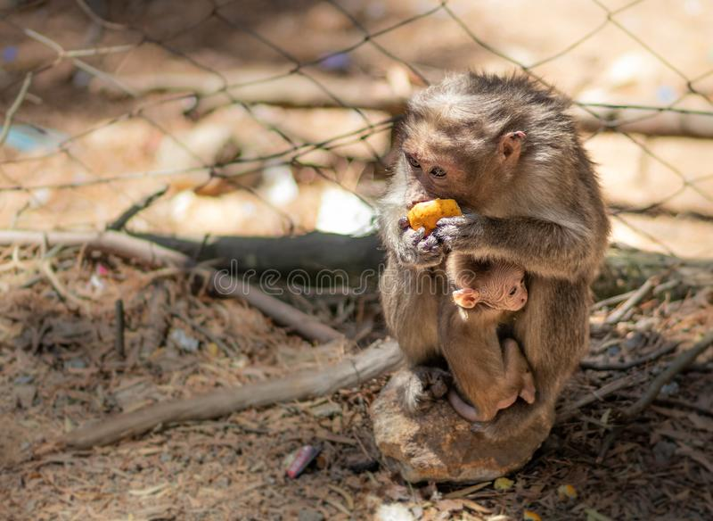 Monkey with her child feeding. In details stock photography