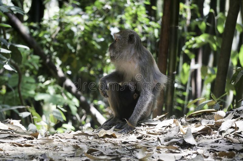 a monkey with his baby in the jungle royalty free stock photography