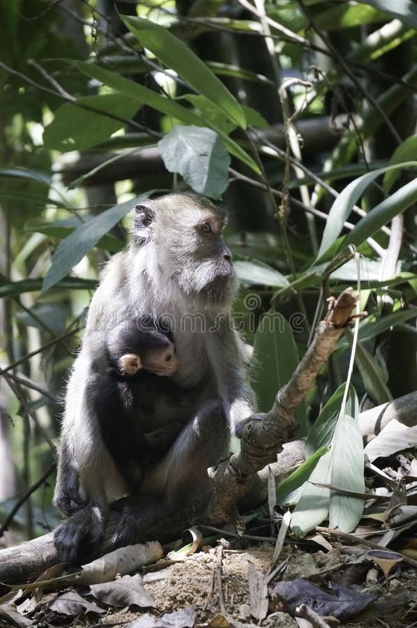 a monkey with his baby in the jungle stock photo