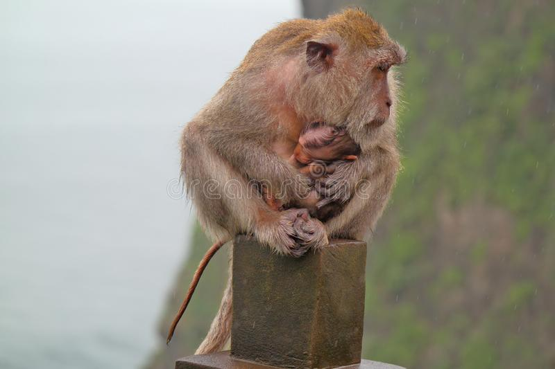 Monkey with Baby - Bali Indonesia. Monkey hold its baby tight in the rain. Spotted at Uluwatu Temple, Bali Indonesia stock image