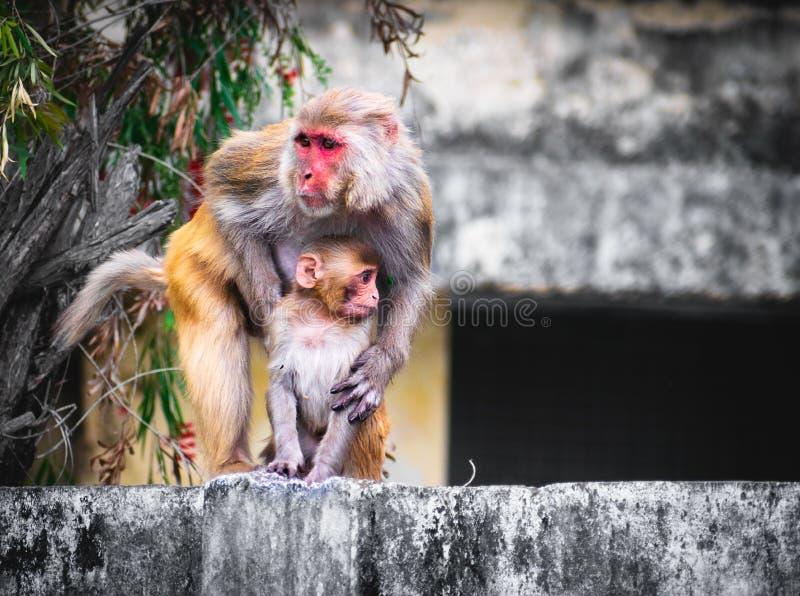 Monkey holding baby monkey on wall background royalty free stock image