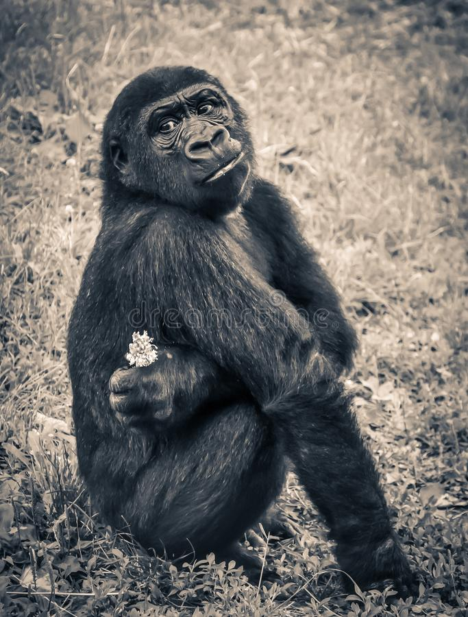 Monkey Holding White Petal Flower Sitting on Grassy Field in Sepia Tone Photography stock image